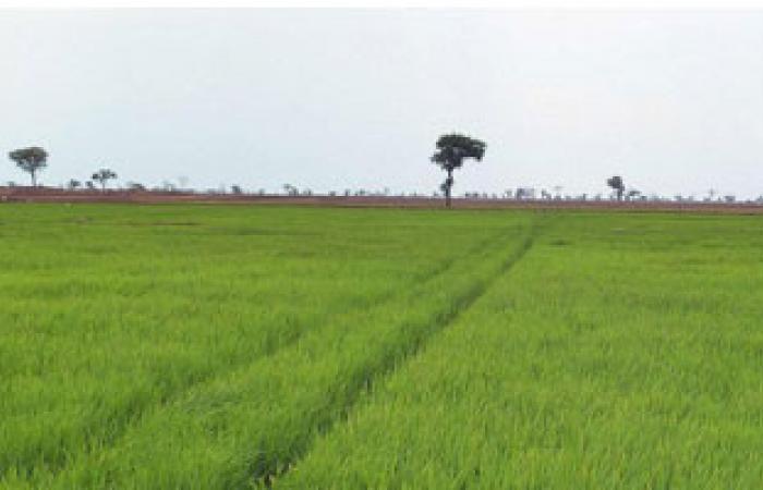 """""""الرى"""": زراعة 665 ألف فدان أرز بزيادة 3 أضعاف العام الماضى"""