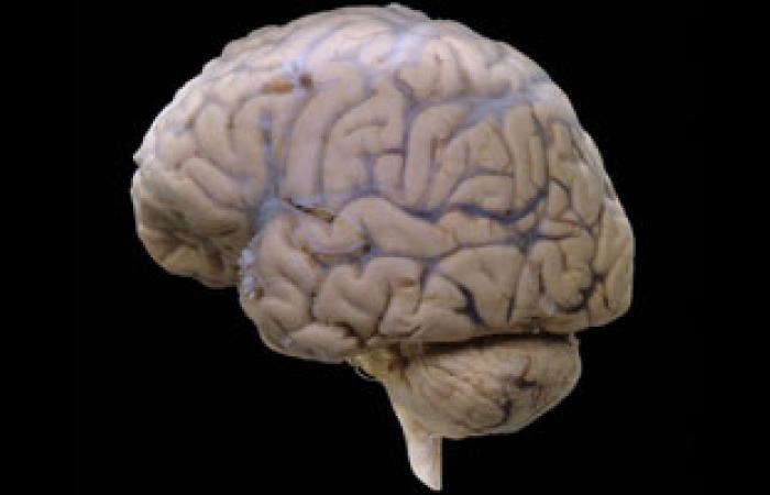 تصنيع مخ إنسانى مصغر فى بيئة معملية