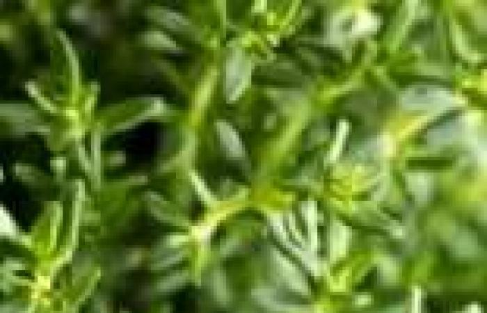 نبات الزعتر يعالج فقدان الشم العلامة الأولى لمرض الشلل الرعاش والزهايمر