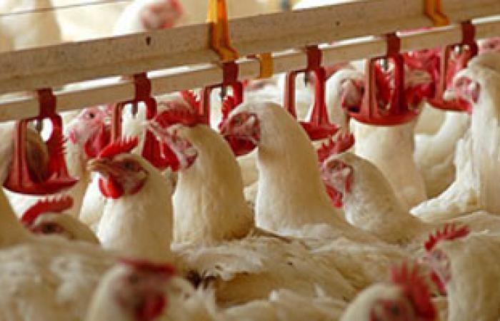 مجلس الدولة: تقنين أوضاع مزارع الدواجن على الأراضى الزراعية قبل عام 2006