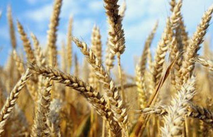 حصاد 63900 فدان من محصول القمح بسوهاج