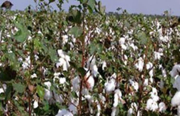 الزراعة: ارتفاع المساحات المنزرعة بالقطن لـ 133 ألف فدان الموسم الصيفى