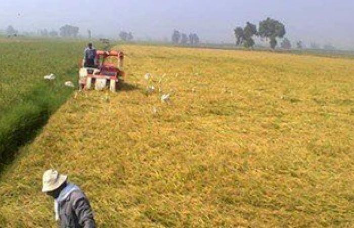 """""""الزراعة"""" بكفر الشيخ تعلن بدء موسم  حصاد محصول الأرز بالمحافظة"""