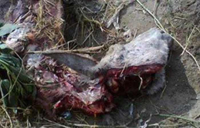 بالصور.. ضبط 3 أشخاص أثناء ذبحهم حمير بكفر الشيخ