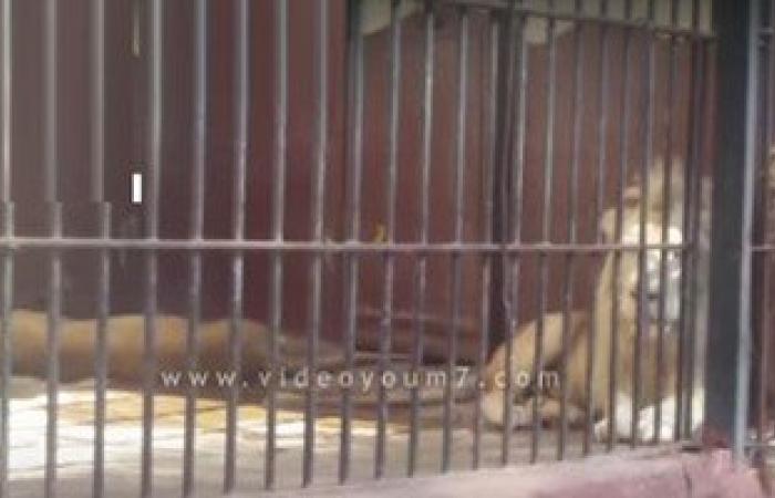 """""""الزراعة"""": اسود حيوان الجيزة بصحة جيدة والصورة المتداولة بحديقة اليمن"""