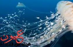 علاج لسعات قنديل البحر يعتمد على تحديد خطورتها أولا