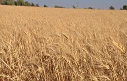 حرب القمح تحتدم بين الحكومة السورية وبين التنظيمات الكردية المسلحة شرق الفرات