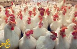 رئيس شعبة الدواجن يكشف عن السعر الرسمي للدواجن والبيض بالمزارع والسواق خلال الشهر الجاري