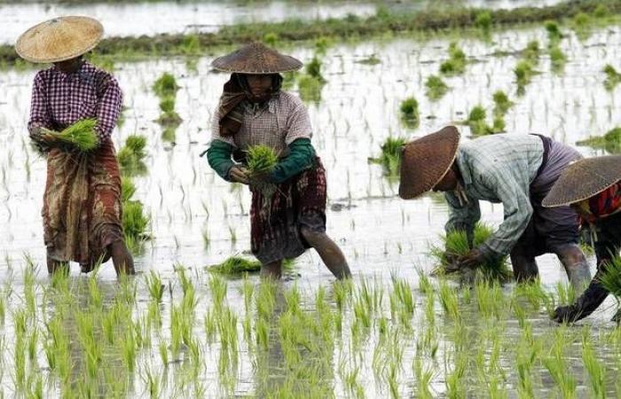ارتفاع أسعار الأرز عالمياً لأعلى مستوى في 7 سنوات