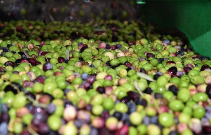 من هنا يخرج أجود أنواع الزيت.. شاهد معاصر الزيتون بتبوك تستقبل نتاج 800 ألف شجرة