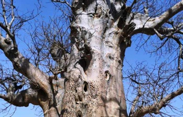 """أغرب القبائل.. """"الفادوما"""" الإفريقية  أقدامهم  بلا أصابع ويعبدون """"الأشجار"""" ويأكلونها في الوقت نفسه"""