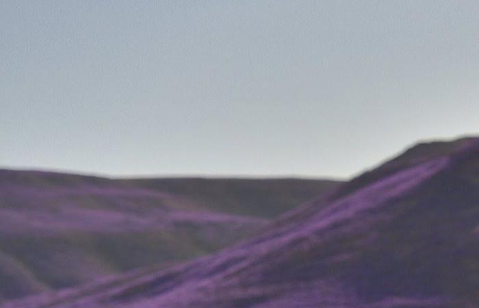"""الربيع """" البنفسجي"""" .. يتحول من لون الطبيعة إلى رمز في السعودية"""