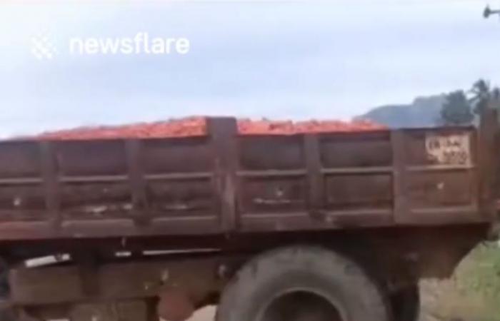 هبطت أسعار الطماطم.. فيديو صادم يكشف ما فعله مزارعو الهند