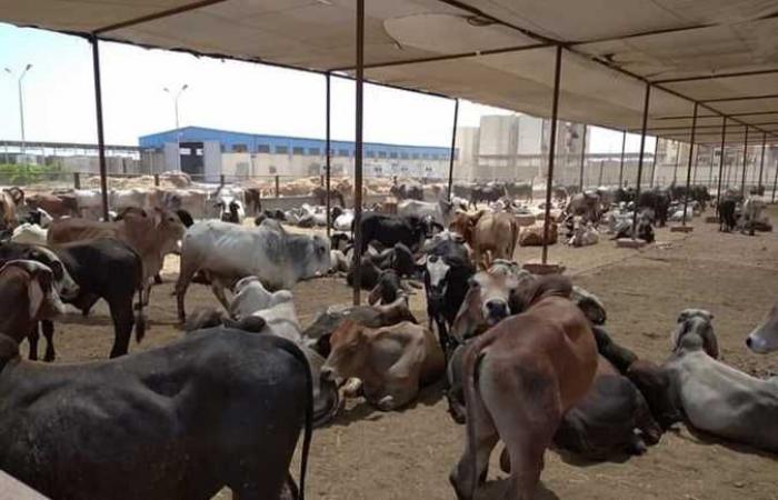 تحصين 113 ألف رأس ماشية ضد «الجلد العقدي والجدري» ببني سويف