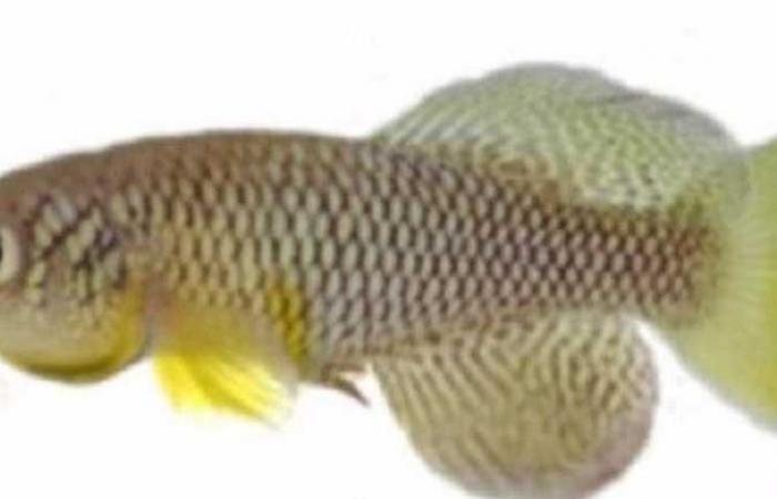 تمتلك أعضاء تناسلية وتستطيع الحياة دون ماء.. تعرف على سمكة «كيليفيش» الأكثر غرابة على وجه الأرض