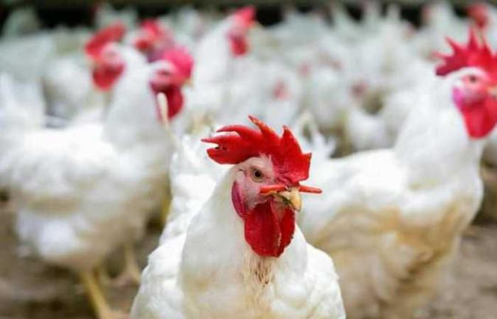 الغرف التجارية: استقرار أسعار اللحوم والدواجن قبيل بدء العام الدارسي الجديد