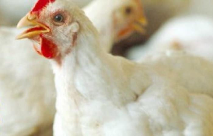 أسعار اللحوم والدواجن اليوم الأربعاء 21/12/2016 في الاسواق المصرية