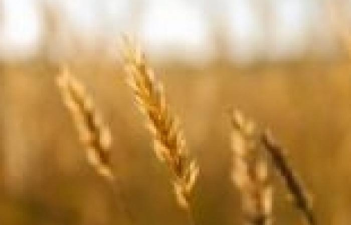 الخارجية تعلن دخول القمح المصري إلى موريتانيا