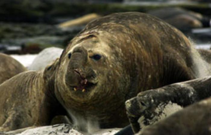 أنفلونزا الخنازير تصيب أنثى فيل البحر