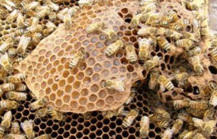 """حبة البركة وعسل النحل لا يغنيان عن علاج فيروس """"سى"""""""