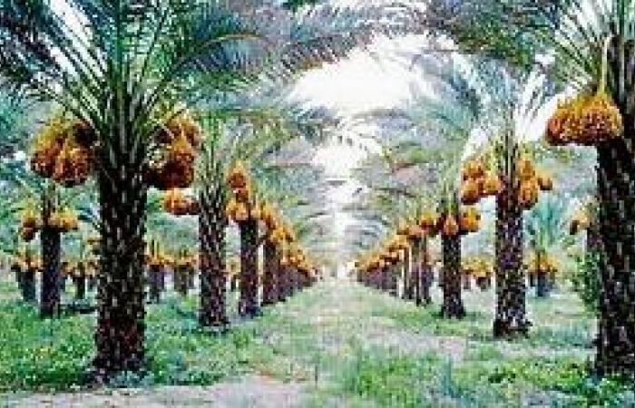 اللجان تبدأ في خرص مزارع النخيل بالخرمة