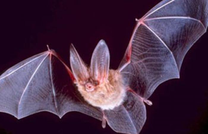 دراسة: الخفاش مخزن للفيروسات المنتشرة على الأرض