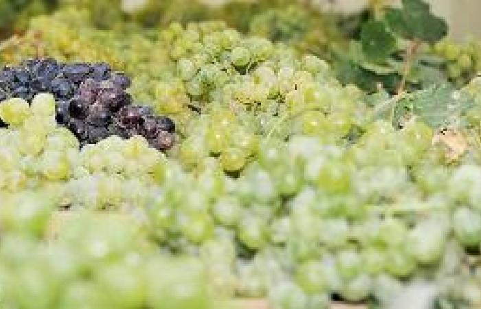 عناقيد العنب في بلقرن تتلألأ بـ 11 ألف طن سنويا