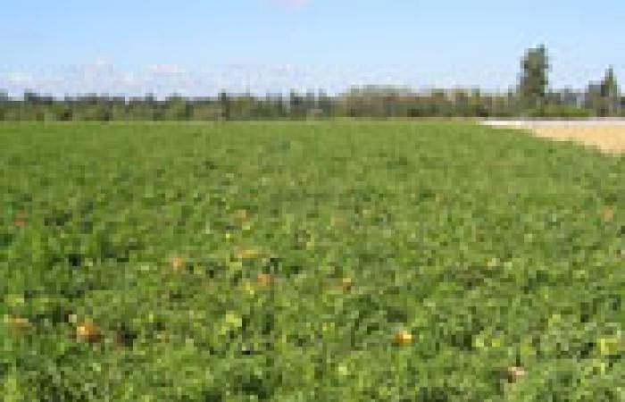 بداية موسم زراعة محصول بنجر السكر في الشرقية