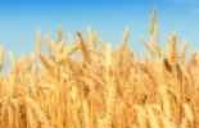 """""""السلع التموينية"""" تتعاقد على شراء 235 ألف طن قمح روماني وروسي وأوكراني لإنتاج الخبز"""