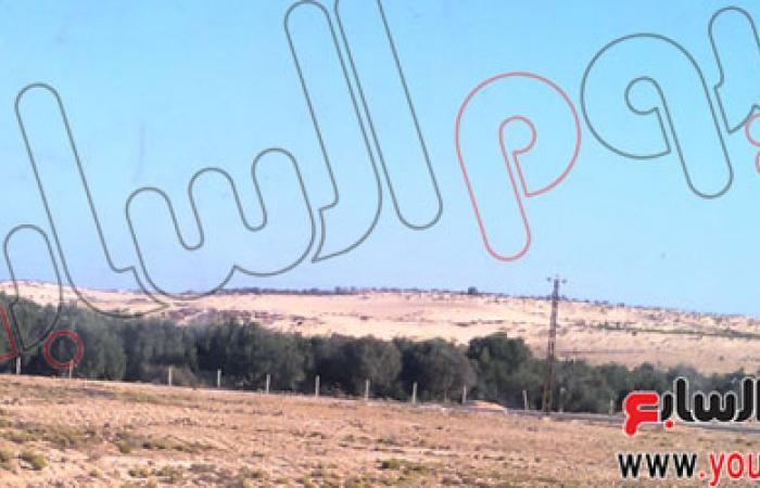 بالصور.. إنتاج زيتون سيناء يتراجع للنصف هذا العام