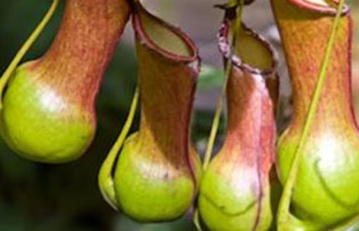 نبات استوائى يستخدم كمادة لطلاء دواخل المستلزمات الطبية