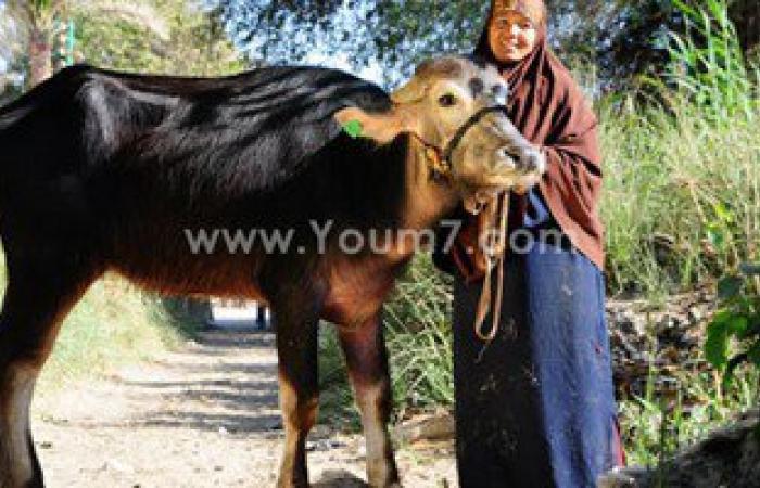 """""""الأورمان"""" توزع 500 ماشية على الأهالى بـ6 محافظات بتكلفة 7.5 ملايين جنيه"""