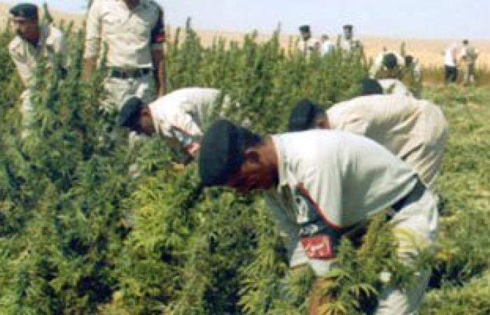 ضبط فلاح بالمنيا زرع 173 شجرة بانجو داخل مزرعة قصب
