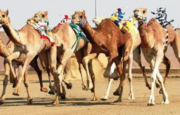 الإسماعيلية تستعد لانطلاق مهرجان الهجن الرابع عشر فى 24 مارس