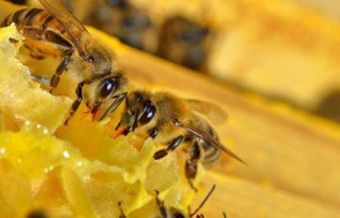 عسل النحل يعمل على مكافحة العدوى