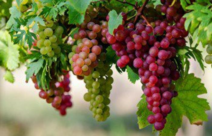 العنب البرى أفضل علاج لارتفاع ضغط الدم