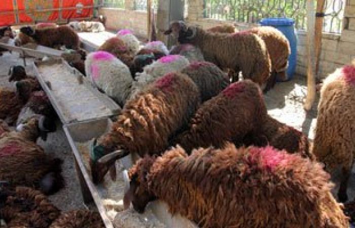 """""""بيطرى الوادى الجديد"""": 167 ماشية مصابة بالبيروسيلا وانتقال العدوى لـ6 أشخاص"""