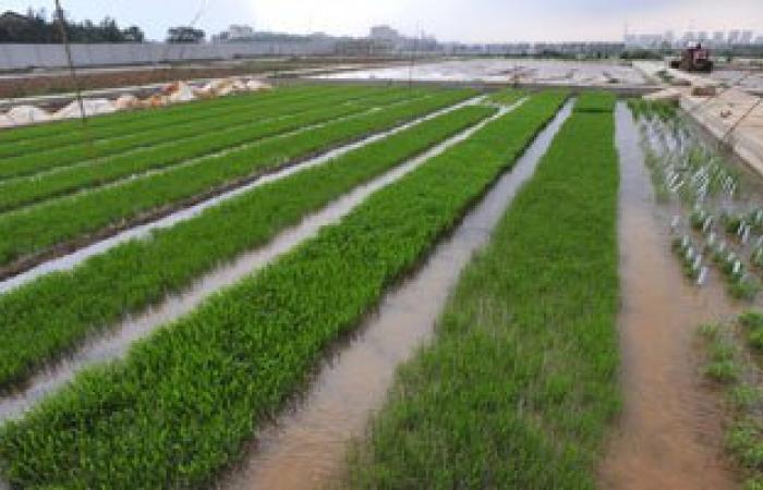 """""""الزراعة"""" توفر 2500 طن تقاوى أرز للعام المقبل يتحمل """"العطش"""" ويزيد الانتاج"""