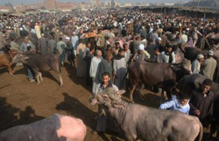 مديرية الطب البيطرى بالإسكندرية تحصن 74 ماشية بسوق خورشيد