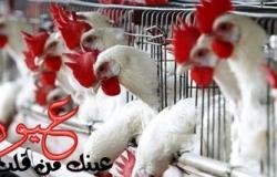 شعبة الدواجن تتعهد بخفض الأسعار خلال رمضان فى القاهرة فقط!