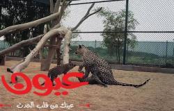 ولادة صغيرين جديدين من النمور العربية ضمن جهود المملكة في حماية النمر العربي