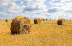 """توضيح من """"الزراعة السعودية"""" بشأن استيراد القطاع الخاص للشعير"""
