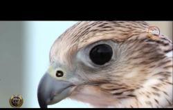"""أفلام وثائقية - """" شاهين الكنز الثمين """" أقوى الطيور الجارحة وأكثرها سرعة"""