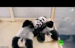 فحص طبي لصغار الباندا