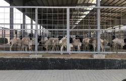 السعودية تستورد 14.8 ألف رأس ماشية لدعم السوق المحلي واستقرار الأسعار