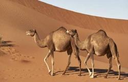 السعودية تستورد 28 ألف رأس ماشية من 3 دول خلال يومين