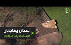 أسدان يهاجمان حارسة حديقة حيوانات