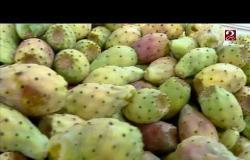 التين الشوكي الفاكهة الشعبية الأكثر انتشاراً تهزم الكورونا في الحر