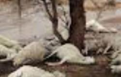 """""""برسيم مُسمَّم"""" يقتل 795 رأساً من المواشي المختلفة بـ""""مليحاء محايل"""""""