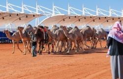 نادي الإبل يعلن آلية جديدة لكشف العبث خلال مهرجان الملك عبدالعزيز